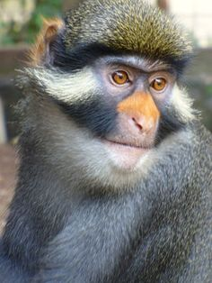 Guenon is the name for the group of medium sized monkeys that have long back legs, a rounded head and a long tail. Very fast and active. Baby Monkey Pet, Ape Monkey, Tarzan Disney, New World Monkey, Magnificent Beasts, Mountain Gorilla, Tropical, Primates, Animal Kingdom