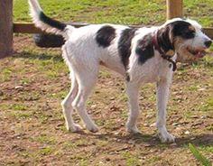 Welsh Hound/Welsh Foxhound