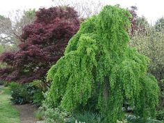 Weeping Katsura - Cercidophyllum japonicum 'Pendula' by KarlGercens.com, via Flickr - shown with a red Japanese maple in the background (likely the variety Bloodgood) - Katsura have incredible Cotton Candy smells in the fall