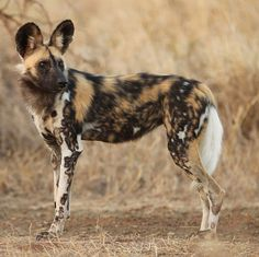 Animals Related to the Domestic Dog African wild dog (Lycaon pictus) African Hunting Dog, African Wild Dog, Hunting Dogs, Rare Animals, Zoo Animals, Cincinnati Zoo, Coyotes, Wild Dogs, African Animals