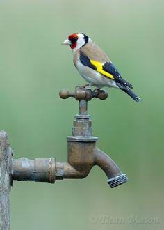 Tap Dancing Goldfinch ! by Dean Mason, via 500px