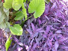 Tradescantia pallida Purple Heart Plant outdoor by artVine on Etsy