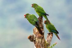 https://flic.kr/p/sXcaNZ | Happy Endangered Species Day! | El Oro Parakeet (Pyrrhura orcesi) - Buenaventura Reserve, Ecuador  Well apparently today, May 15th, is endangered species day, so I thought it would be appropriate to post a photo of one endangered species thats rather close to my heart as I recently spent 6 months working with them.  The El Oro Parakeet (Pyrrhura orcesi) is an endangered psittacid only found in the highlands of the El Oro Province.  There are only about a 1000 of…