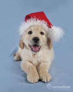 Milly (Golden Retriever)  You can count on Milly to be home for Christmas.