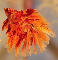 Fireball flexing again& The post Betta Fish: Fireball flexing again& appeared first on Flake Food. Pretty Fish, Cool Fish, Beautiful Fish, Betta Fish Types, Betta Fish Care, Beta Fish, Fish Fish, Betta Aquarium, Underwater Animals