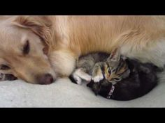 Sleepy Golden Retriever Watching Foster Kittens Playing & Fighting On His Bed - 5 Weeks Old - YouTube