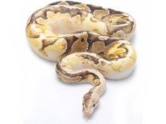 Atomic Fire Sugar - Morph List - World of Ball Pythons