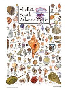 sea shells of the south Atlantic coast