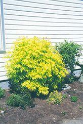 Sutherland Gold Elder (Sambucus racemosa 'Sutherland Gold') at Chalet Nursery