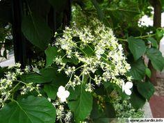 Hydrangea petiolaris, Hortensia grimpant