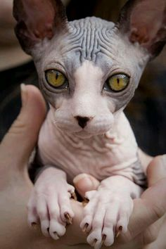 SPHYNX CATS, I can't decide if they are shudder inducing or not. animals should have fur I Love Cats, Crazy Cats, Cute Cats, Chat Rex, Beautiful Cats, Animals Beautiful, Gorgeous Eyes, Sphynx Gato, Dwelf Cat