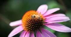 Echinacea sp Echinacea is a group of flowering plants in the aster family. It is native to central and eastern North America. Echinacea enjoys full sun to light shade and average, loamy soil. They prefer to have approximately an inch of water per week, but, once established, they can survive a...