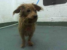 OSCAR (A1646389) I am a neutered male tan Dachshund.  The shelter staff think I am about 6 years old.  I was found as a stray and I may be available for adoption on 09/26/2014. — hier: Miami Dade County Animal Services. https://www.facebook.com/urgentdogsofmiami/photos/pb.191859757515102.-2207520000.1411342786./843525599015178/?type=3&theater