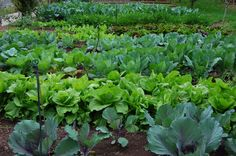 salátakert