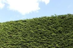 A row of Leyland cypress tress forming a hedge.