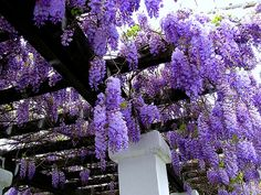 Botanical name: Wisteria  Plant type: Shrub  USDA Hardiness Zones: 4, 5, 6, 7, 8, 9  Sun exposure: Full Sun, Part Sun    Flower color: Red, Blue, Purple, White  Bloom time: Spring  It can be invasive preferable to use a container