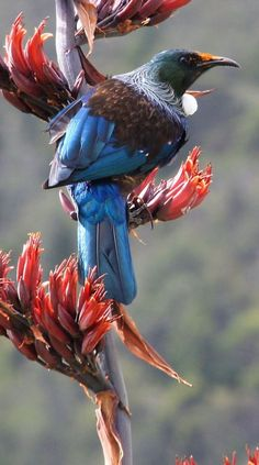 The Tui (Prosthemadera novaeseelandiae) is an endemic passerine bird of New Zealand.
