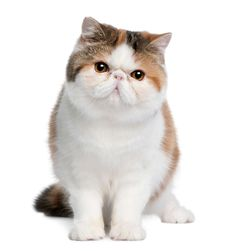 Love to cuddle soft, fuzzy kittens? There are fluffy cat breeds that stay that way into adulthood!You know when you see photos of fuzzy kittens looking so soft Fluffy Cat Breeds, Kitten Breeds, Kittens And Puppies, Cats And Kittens, Exotic Shorthair, Exotic Cats, Otter, Maine Coon, Beautiful Cats