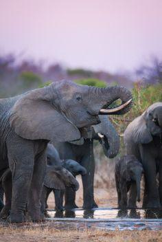 Elephant Herd At Dusk Kruger National Park, South Africa