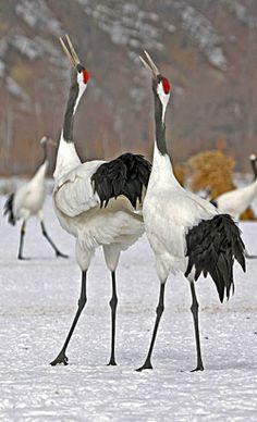 /Japanese-crane The Dance Of Love. All Birds, Birds Of Prey, Love Birds, Exotic Birds, Colorful Birds, Pretty Birds, Beautiful Birds, Japanese Crane, Shorebirds
