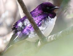 Purple even look fabulous on birds.
