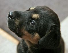 Oh how can you not love this face?! Such a cute rottweiler mix! via the Daily Puppy