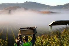 Harvest above the heavens. #pinotnoir