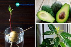 How to Grow an Avocado Tree - The Handy Mano Plastic Bottle Greenhouse, Diy Plastic Bottle, Diy Greenhouse, Plastic Ware, Garden Bar, Easy Garden, Garden Ideas, Bottle Garden, Patio Ideas