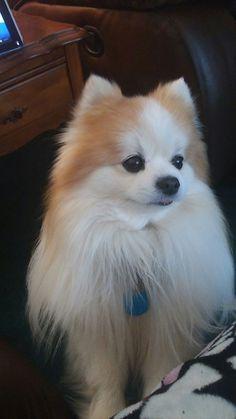 My gorgeous boy Fred #pomeranian