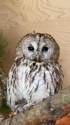 Owl Photos, Owl Pictures, Beautiful Owl, Animals Beautiful, Owl Wallpaper, Tawny Owl, Eagle Art, Owl Bird, Cute Funny Animals