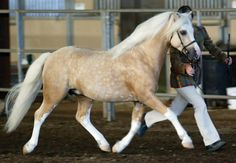palomino welsh pony we had all colors once we had pony judge from rh pinterest com