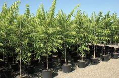Sester Farms Common Hackberry Latin Name: Celtis occidentalis Wholesale Tree Nursery