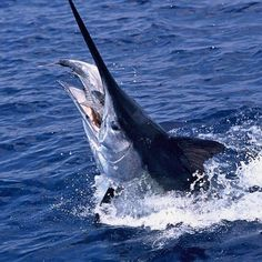 Big baits = big marlin. Go to FishTrack.com to learn how to rig 15-pound tuna to catch giant black marlin. Photo: John Ashley. #bigbait #landsucks #blackmarlin #twitter