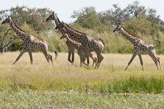 Camelthorn Lodge - Giraffen