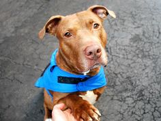 BILLY aka KING -  A1044486 (ALT ID A1064092) - - Manhattan  Please Share:   TO BE DESTROYED 02/28/16   **NEEDS A NEW HOPE RESCUE TO PULL** Billy needs a hero. he arrived at the ACC of NYC on the first of February with his tail between in his legs, shy and scared. Billy was seized due to a bite and put on a Department of health hold. Billy is a neutered three year old red Pitty mix. A handsome boy that in spite of his fear was easy in and out of his kennel. Billy was at the