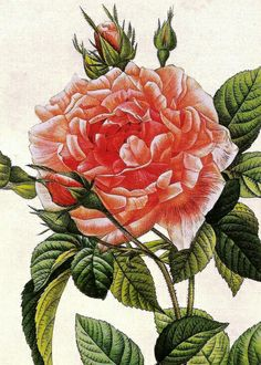 Rosa Gallica (Provins royal): Redoute
