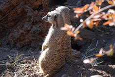 Meerkat duo, Cheyenne Mountain Zoo