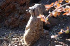Meerkat duo, Cheyenne Mountain Zoo
