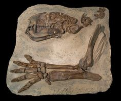 One of the most impressive features of pantodonts was their bear-like size. No other mammals that lived during the Palaeocene (65 � 55 million years ago) came close to being as large.          http://wp.me/p291tj-9w