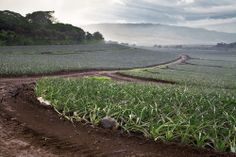 Upcountry Pineapple Filed – Makawao, Maui