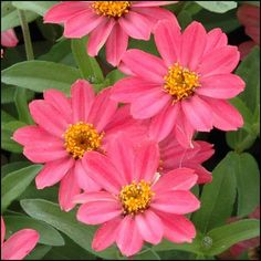 PROFUSION CORAL PINK Zinnia Seeds Coral Pink flowers with alluring orange and salmon undertones.  25 seeds - $3.49