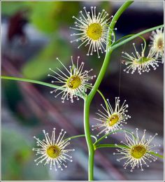 drosera pallida- pale rainbow ::  This tiny West Australian native climber has some very unusual characteristics what can be seen as round flower like objects are infact the plants leaves. These 'leaves' have hair like tubes that radiate from the disk they emmit a sticky substance that glistens in sunlight and attracts insects. The insects become stuck to the leaves and are then absorbed by the leaves as nutrition the flowers come later…