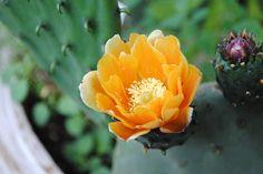 cactus_yellow_600.jpg (600×401)