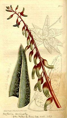 Gasteria carinata - circa  1811