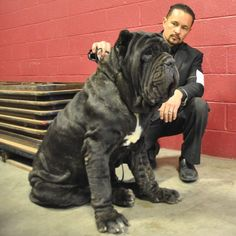 "Neapolitan Mastiff, ""THE DON"" US Champion Old World Don Vito WWW.OldWorldMastinos.com"