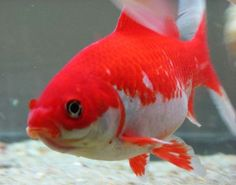 Common Goldfish-he's pretty even tho he is common