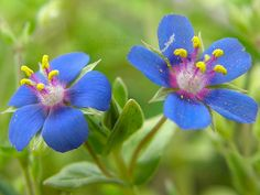 Blue Pimpernel - Anagallis arvensis Anagallis arvensis(Ericales - Primulaceae) is an annual herbaceous plant with reddish-orange or purplish-blue flowers, that is found as native or naturalized in many countries of the world. Pimpernel is regarded as an environmental weed in many places. While it is a small and inocuous-looking plant, it can form dense populations in understorey vegetation that exclude native species.It is also poisonous to livestock, domestic animals, and even to ...