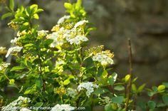 El jardín de la alegría : Una corona de novia o espirea de primavera (Spirae...