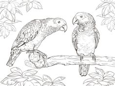 African Grey Parrots coloring pages free to print