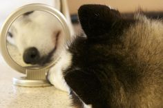 A little puppy fights himself in the mirror - extra cute with cute on top :)